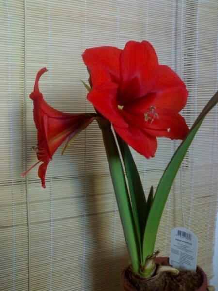 Rośliny, Kwiaty... - Amarylis - 2 'kwitnienie'