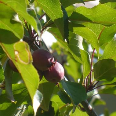 ................i jabłuszka.................