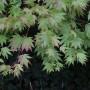Rośliny, Klon palmowy w ogrodzie