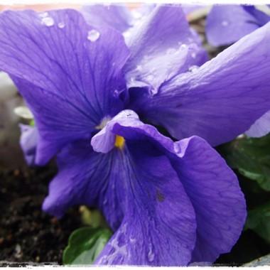 Bratki , tulipany - kocham wiosnę za te kwiatki&#x3B;