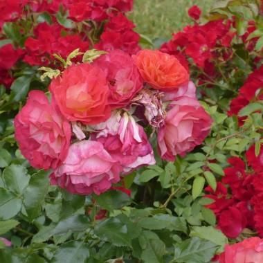 ..............i róże..............