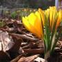"""Rośliny, Przedwiośnie - Crocus vernus,""""Large Yellow""""."""