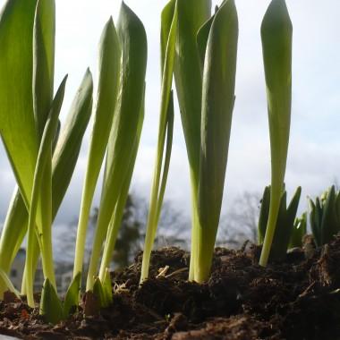 ...............i tulipany..............