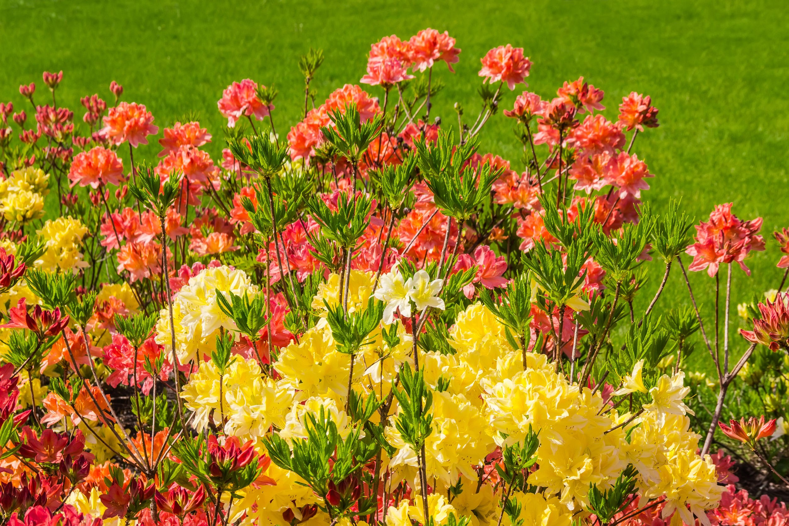 Kolorowe krzewy azali wielkokwiatowych