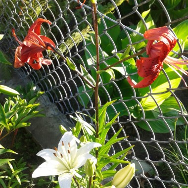 Przybywam po raz kolejny ... upały minęły ... uf. Burze i huragany przeszły ... trochę szkód narobiły. U mnie skończyło się na tym że w sadzie i ogrodzie spadło sporo liści, gałęzi i mnóstwo jabłek :( ale nastał czas juk i hortensji a ich kwitnienie sprawia,że człowiek o tym złym zapomina. Zapraszam