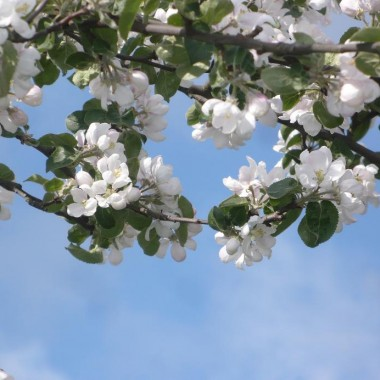 ..............i kwitnąca jabłoń.............