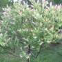 Rośliny, KWIATY - wierzba kulista
