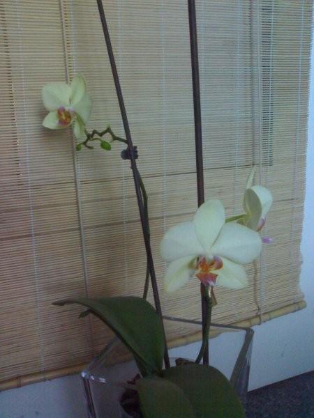 Rośliny, Kwiaty... - jeden z moich trzech Storczyków w trakcie kwitnienia (trwa to już parę miesięcy, część kwiatów opadła a teraz widać nowe pąki)
