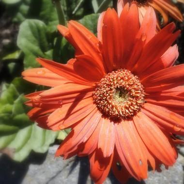 Przyroda wokół nas jesiennieje (ha,ha). Lubię tę porę roku za  jej barwną szatę,szeleszczące liŚcie pod nogami,wiatr unoszący nasiona dmuchawców, dojrzewające jabłka,ostatnie kwiaty w ogrodach,za słońce i za deszcz.Zbliża się czas picia gorących,aromatycznych herbatek, czas nadrabiania wakacyjnych zaległoŚci w czytaniu książek,czas wspomnień dawnych ,szalonych jesieni z kasztanami w tle. Ach!