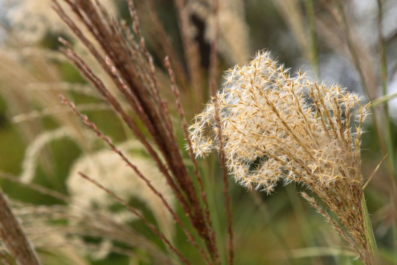 Trawy ozdobne - wiosenne cięcie