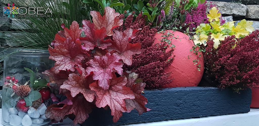 Rośliny, Jesienne dekoracje   Skimia japońska - Jesienne aranżacje do ogrodu -patio-taras-balkon Kobea Ogrody i Bruki-Produkcja i sprzedaż dekoracji do ogrodu