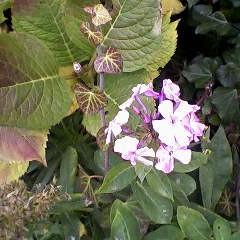 Zapraszam na spacer  piękne jesienne kolory  zawitały do mojego ogrodu ale kwitną też wiosenne  kwiaty i krzewy  może nie będzie zimy jak myślicie ? ha ha  marzenie   przepraszam za fotki zapomniałam aparatu, z łezką w oku  ścinałam róże jak mam to robić jak tak pięknie jeszcze kwitną  .  TEN BUKIET DLA WAS KOCHANI ZA TO ŻE JESTEŚCIE . ZAPRASZAM.