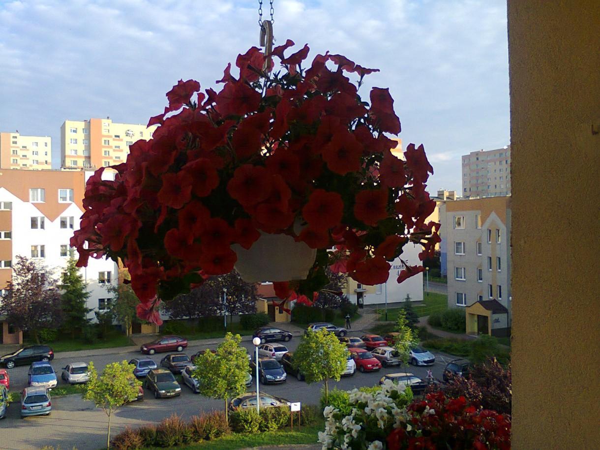 Pozostałe, balkon - Surfinia czerwona.