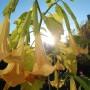 Rośliny, Wrześniowe fotki.................... - ...............i datura.................pachnąca..............