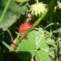 Pozostałe, Różana - truskawki dojrzewają