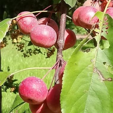 ...................i rajskie jabłuszka...............