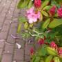 Pozostałe, Majowe love................. - ...........i rododendron..........