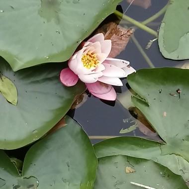 ...............i lilia...........