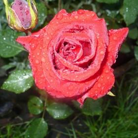 róże i nie tylko