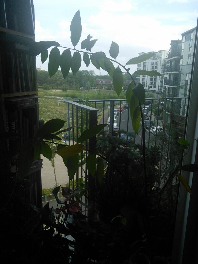 Rośliny, Moje egzotyki zielone - Jablko budyniowe, nie lubi ani goraca ani zimna,  podlewanie tylko umiarkowane , lubi gleby zasadowe.