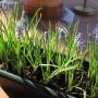 Rośliny, Przedwiośnie - Muscari armeniacum