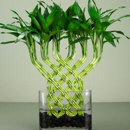 bambusy czyli Lucky Bamboo....oraz lotus bamboo(przypomniane przez Pieguska)