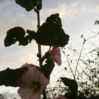 .................i kwitnąca malwa....................