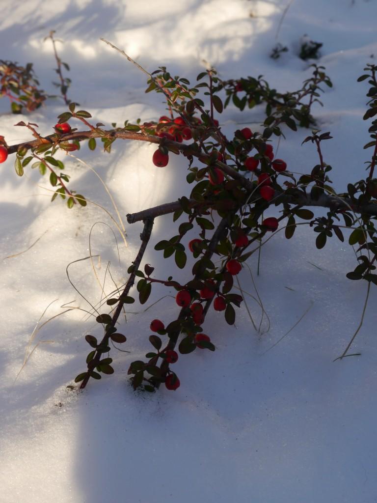 Pozostałe, Biało.... - Roślinki pięknie wyglądały przysypane śniegiem