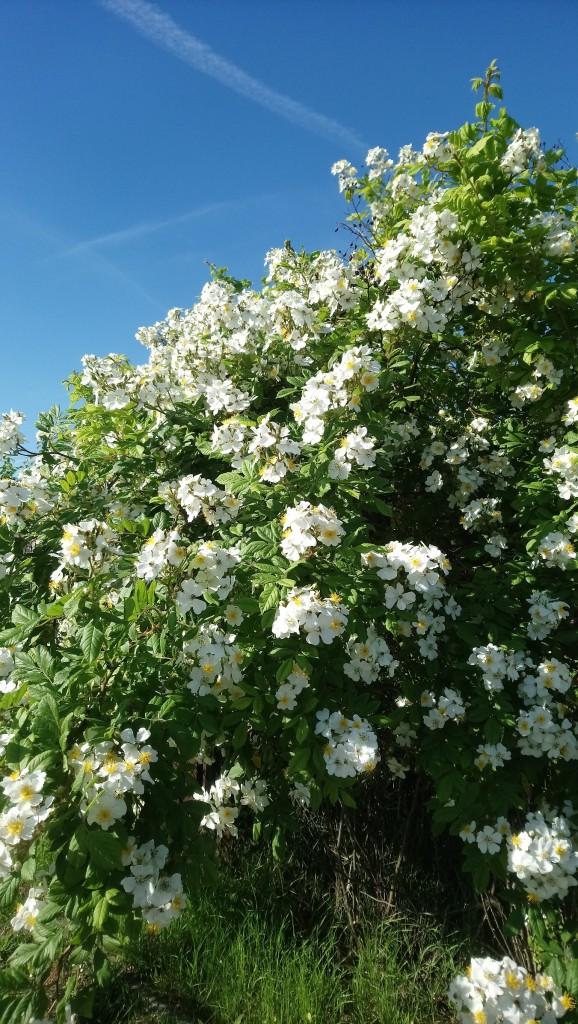Rośliny, Czerwcowe róże ................. - ...............i znów róża..............