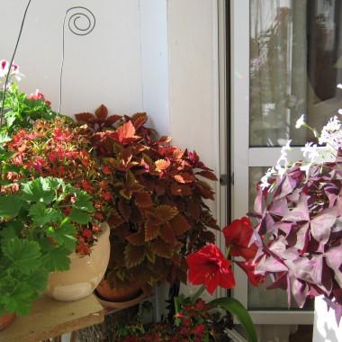 Prezentuje ile można zdziałać na balkonie. Wiosna jest miejsce na rozłożenie Big leżaka . później  można postawić na zastępstwo krzesło a pełni lata wchodzi się na balkon bokiem z wciągniętym brzuchem na podlewanie i pielęgnację.Istna  Explozja natury.