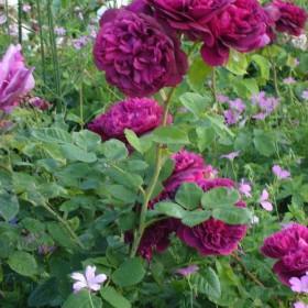 dla wielbicielek roz i ogrodow z pozdrowieniami na jesienne dni