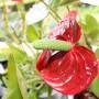 Rośliny, Anthurium, wrzosy i inne ...