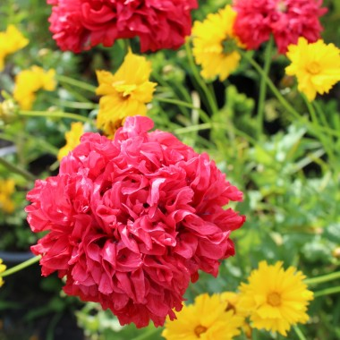 Kwiaty.... kwiaty....kwiaty, mam ich sporo, cieszą oko a pszczółki i motyle mają co robić.