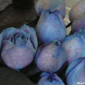 Z niebieską różą