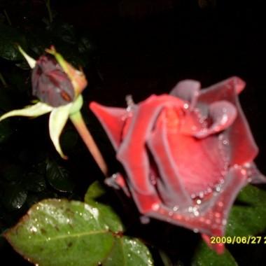 róże nocą