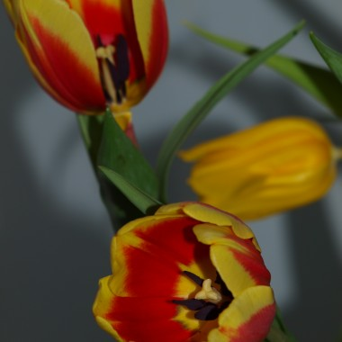 Bukiet tulipanów dla każdej Pani :)))