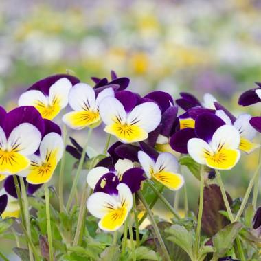 Fiołek rogaty (bratki miniaturowe) to, w odróżnieniu od dwuletniego bratka, bylina. Wytwarza wiele drobnych, kolorowych kwiatów i jest dostępny wielu barwnych odmian. Roślina rozrasta się szybko tworząc regularne, kuliste kępy. Świetnie nadaje się nie tylko do pojemników stojących, ale również wiszących. Są łatwe i mało wymagające w uprawie. Uprawiane na ogrodowym tarasie mogą się łatwo rozsiać.
