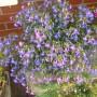 Rośliny, moje kochane roślinki - pokochałam też lobelię ...ale jak tu jej nie kochać :)