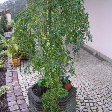 Niestety juz to drzewko przekwitlo, a ma takie sliczne kwiatuszki :)