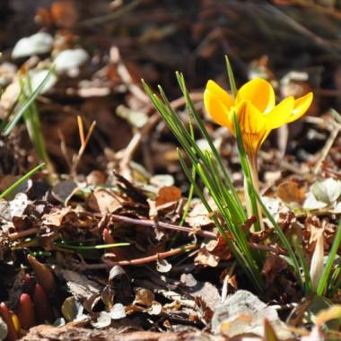 Kochani, już od stycznia kwitną u mnie krokusy...dużo osób nie wierzy, więc wysyłam w świat fotki z ogrodu! Cieszcie się razem ze mną, bo już niedługo będziemy topić Marzannę:)