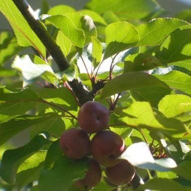 ..................i rajskie jabłuszka................
