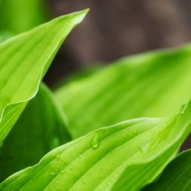 Hosty - prawidłowa uprawa i pielęgnacja