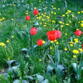 Tulipanom - mówimy do zobaczenia . . .