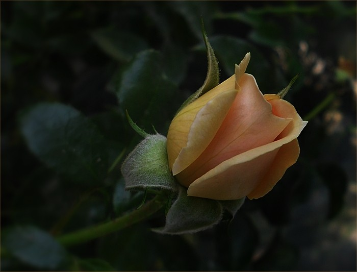 Balkon, Róże z mojego balkonu - Marie Antoinette
