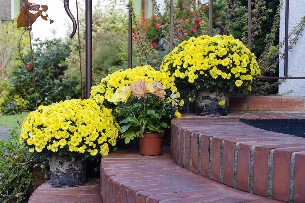 Rośliny, Jesienne kwiaty na balkon - Chryzantemy w doniczce ustawiamy na słonecznym stanowisku. Ziemia do doniczki powinna być lekka, żyzna, bogata w składniki odżywcze. Pamiętajmy o stałym podlewaniu roślin – chryzantemy nie lubią przesuszenia.  Fot.123RF.com