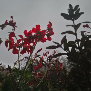 ................i wciąż kwitnące pelargonie na balkonie..............