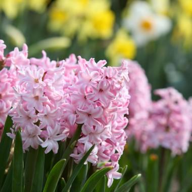HiacyntHiacynt wschodni to wiosenna roślina cebulowa. Powinno sadzić się je w słonecznym miejscu, w glebie przepuszczalnej, ciepłej i wzbogaconej kompostem. Są to rośliny, które są dość często atakowane przez choroby grzybowe i bakterie, szczególnie wtedy, kiedy rosną w ciężkich, wilgotnych i nieprzepuszczalnych podłożach. Poleca się profilaktyczne podlewanie roślin środkami grzybobójczymi, zaprawianie cebul przed posadzeniem, oraz okrywanie w miarę możliwości zagonów z tymi roślinami, podczas długotrwałych i silnych ulew.
