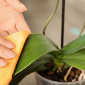 Czyszczenie liści roślin doniczkowych – jak to robić?