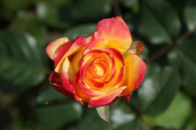 Pozostałe, Róże