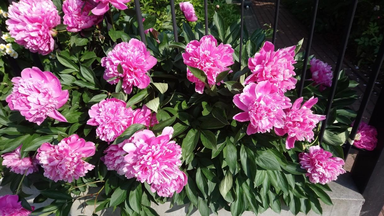 Rośliny, Czerwcowe róże ................. - .............i krzew piwonii...............